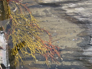 Orange-seaweed-grey-rock