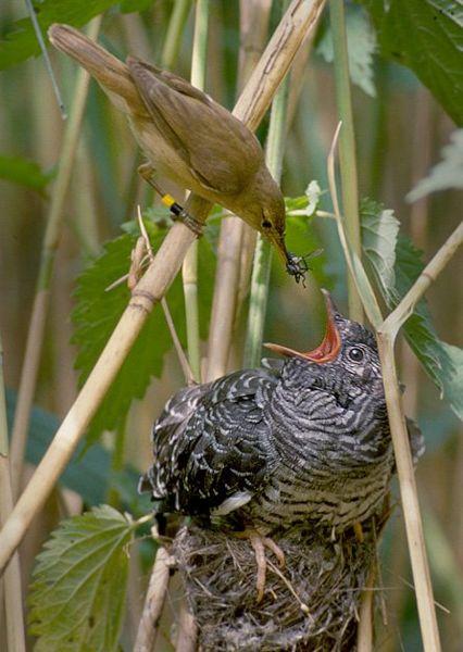 Cuckoo-raised-by-reed-warbler