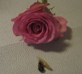 Roses-and-umbilical-stubs