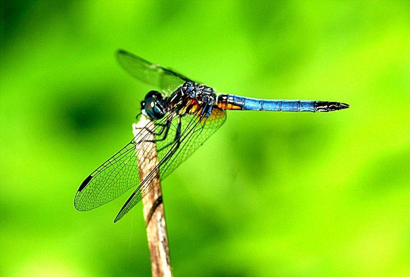 Odo_dragonfly7