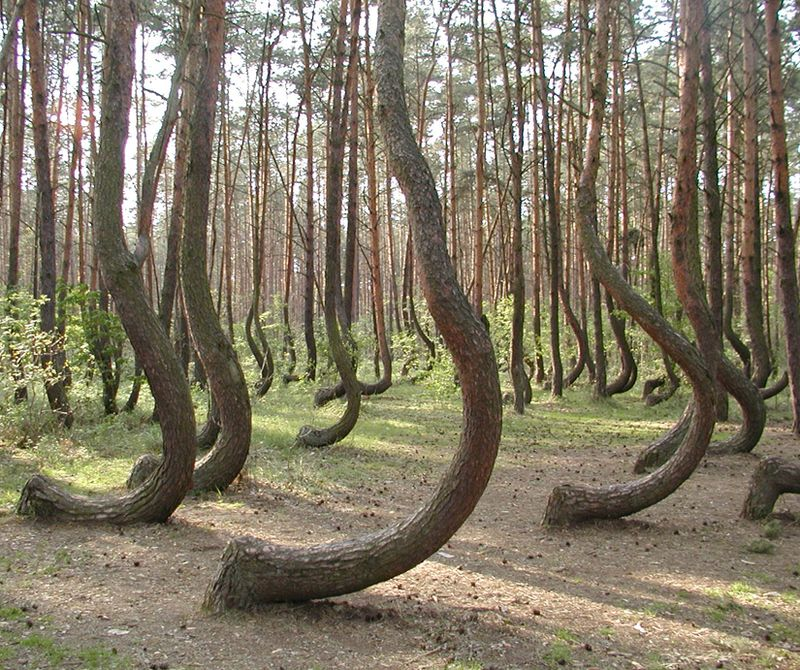 Crooked-forest-825