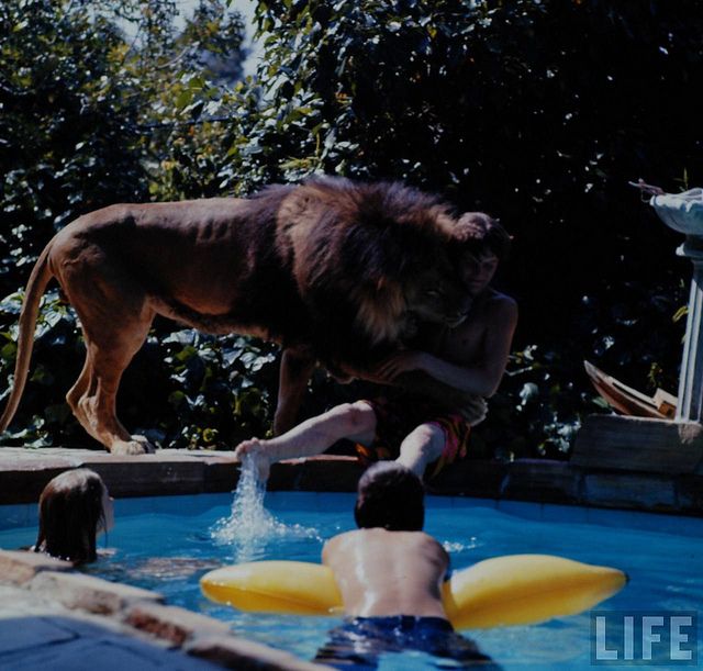 Living-with-a-pet-lion4