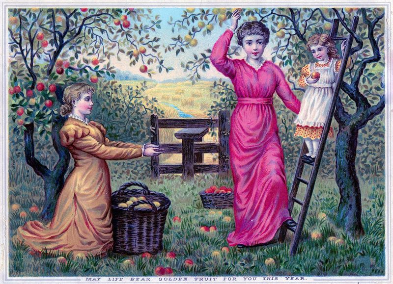 Victorian-apple-harvest