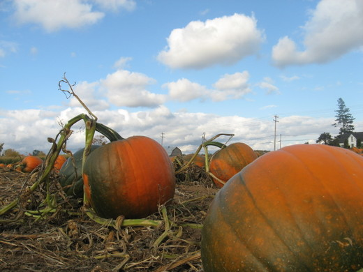 Pumpkin_patch_2_2